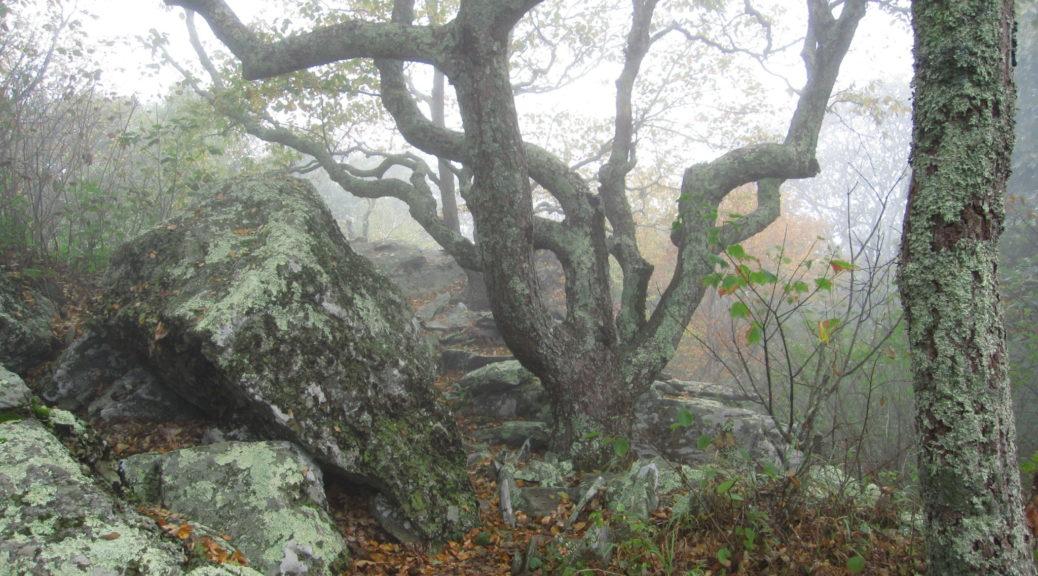 Bearfence Mountain Gnarly Tree in Fog