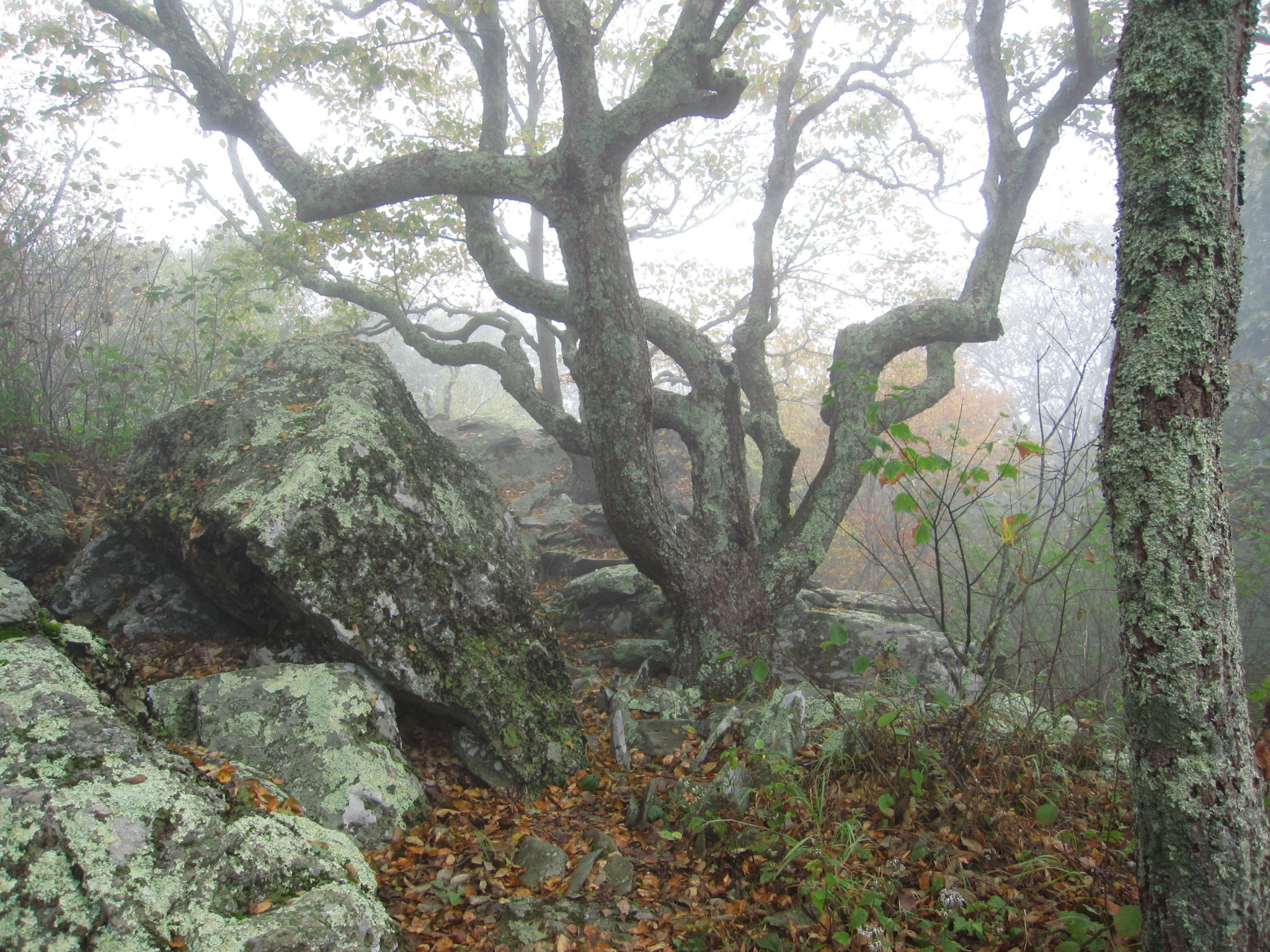 Bearfence Mountain Gnarly Tree in Fog