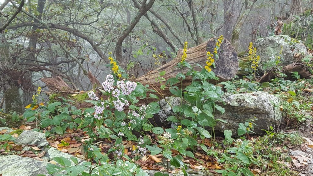 A variety of fall wildflowers along the trail - Aster (Symphiotrichum spp.) & Goldenrod (Solidago spp.)
