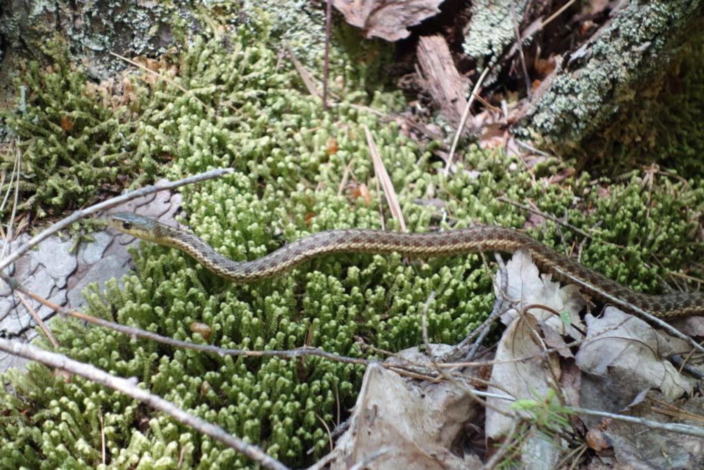 Garter Snake by Jordan Stream