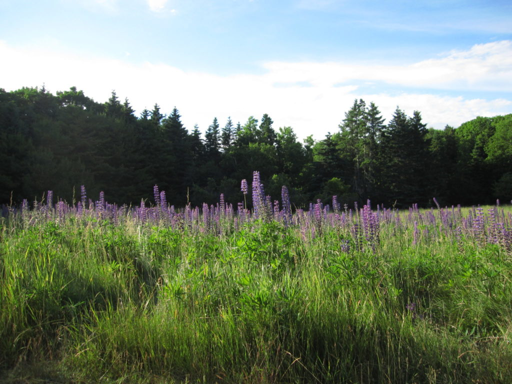 Acadia: Lupine Field on Bar Island