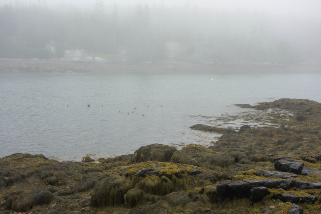 Acadia: Ducks in Duck Harbor