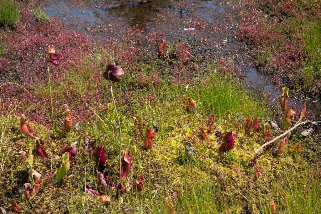 Acadia: Northern Pitcher Plants on Isle au Haut