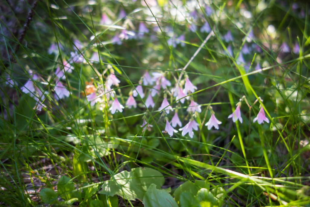 Acadia: Twinflower