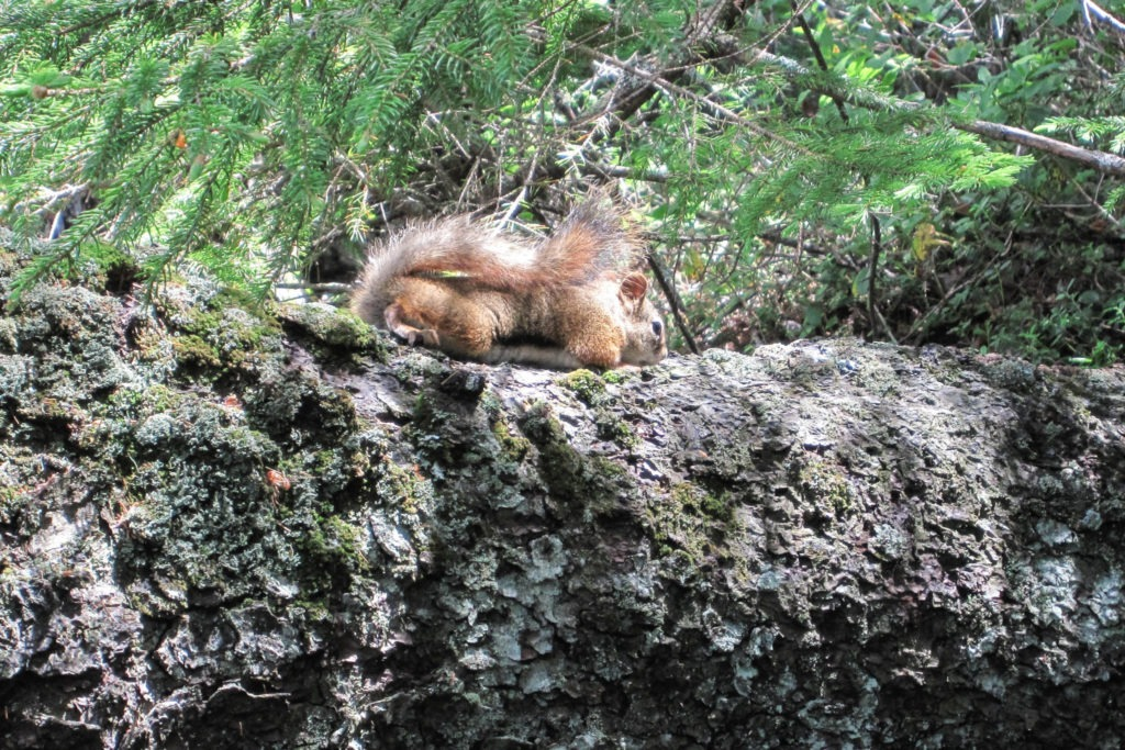 Acadia: Red Squirrel