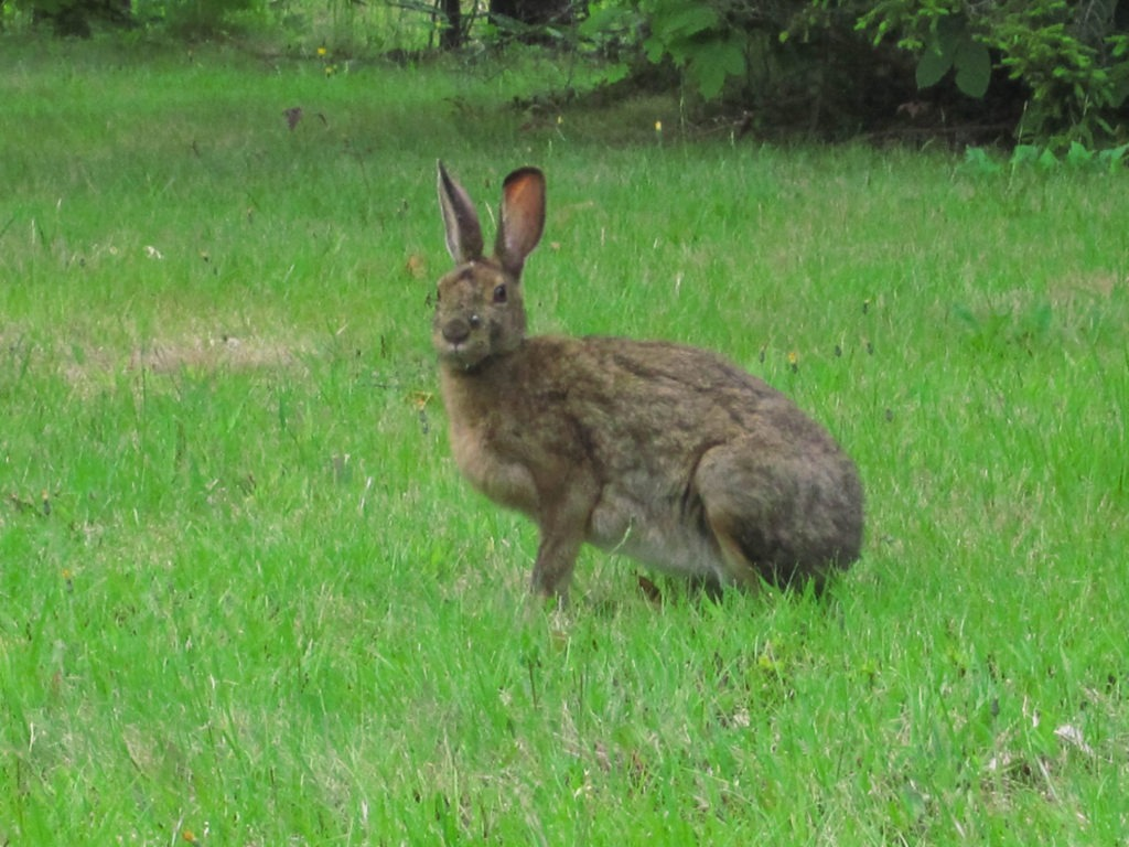 Acadia: Big Rabbit near Schoodic Institute