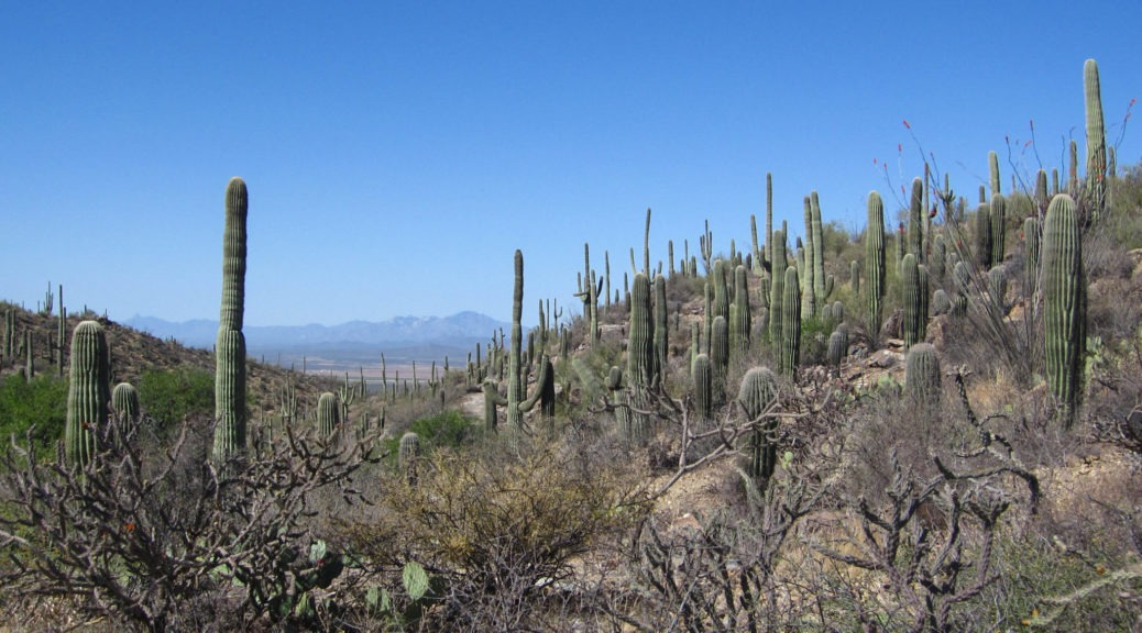 Saguaro: View of the saguaro on King Canyon Trail