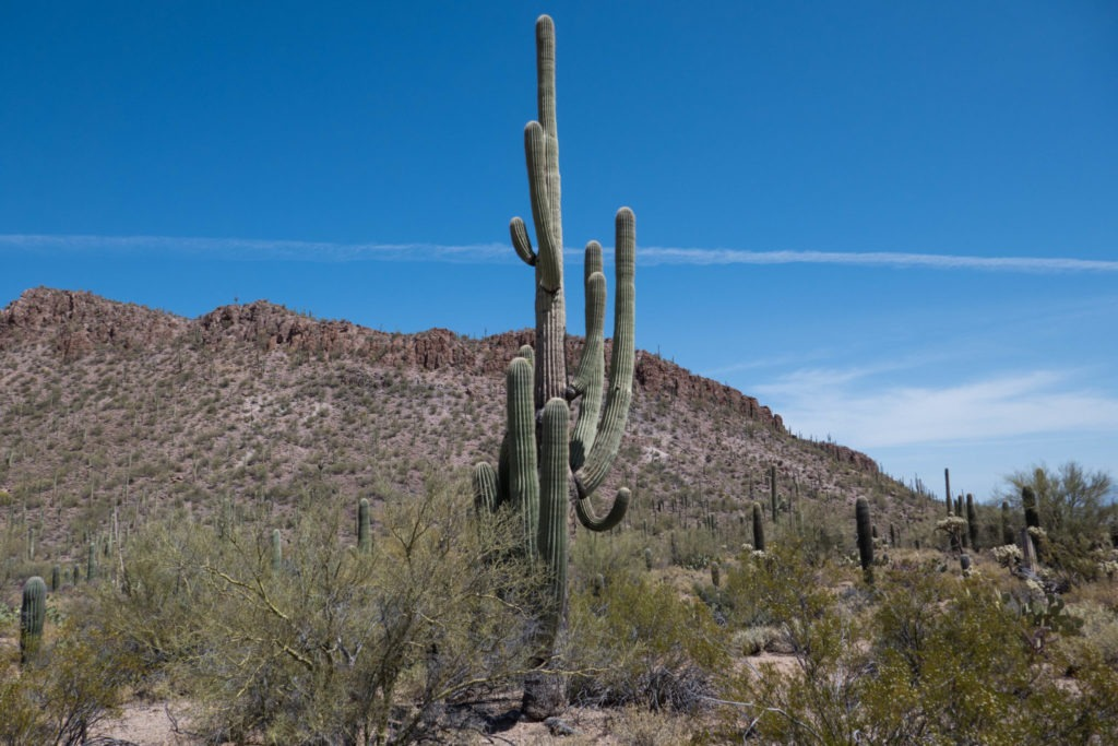 Saguaro: View of a saguaro and mountains on Ringtail Trail