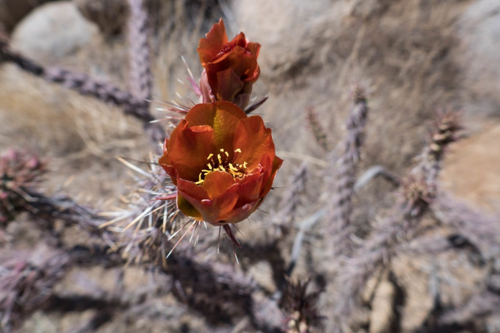 Saguaro: Buckhorn Cholla on Hugh Norris Trail
