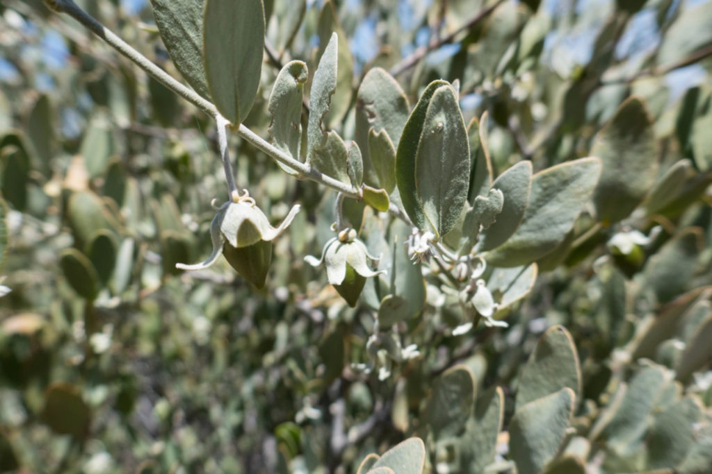 Saguaro: Female Jojoba Bush