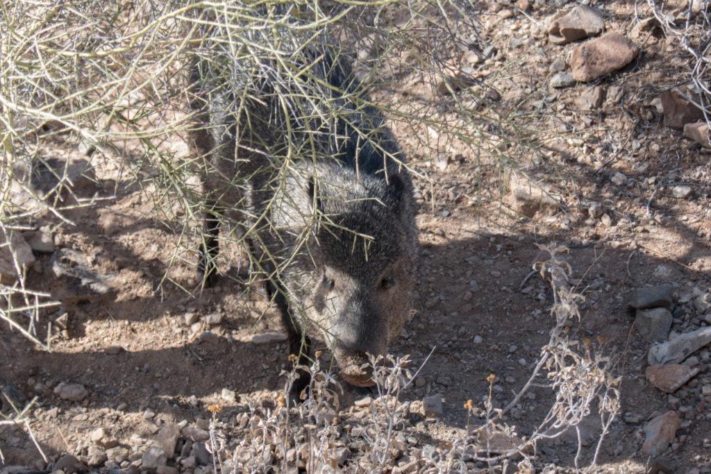 Saguaro: Javelina at Arizona-Sonora Desert Museum