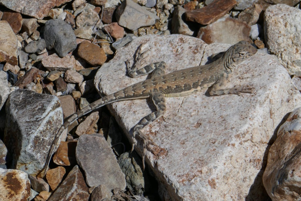 Saguaro: Zebra Tailed Lizard on King Canyon Trail