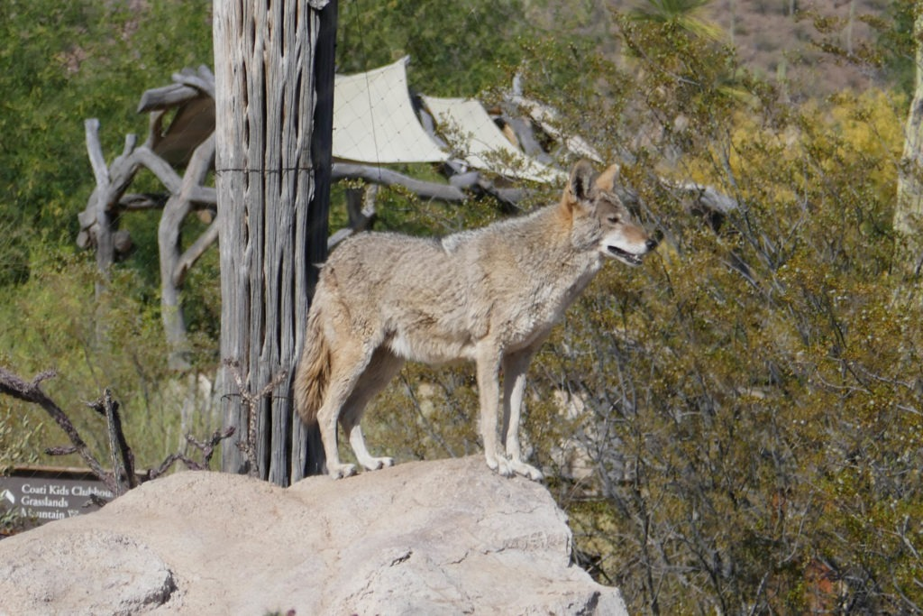 Saguaro: Coyote at Arizona-Sonora Desert Museum