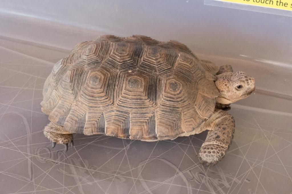 Saguaro: A desert tortoise at Arizona-Sonora Desert Museum