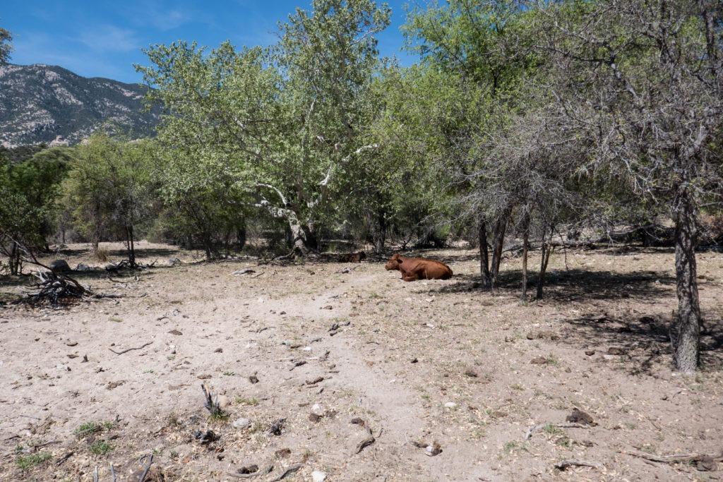 Saguaro: Cows at Miller Creek