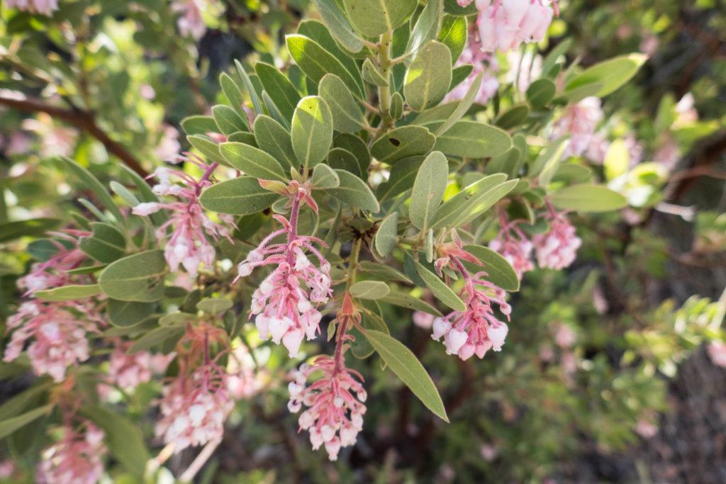 Saguaro: Flowering Manzanita on Miller Creek