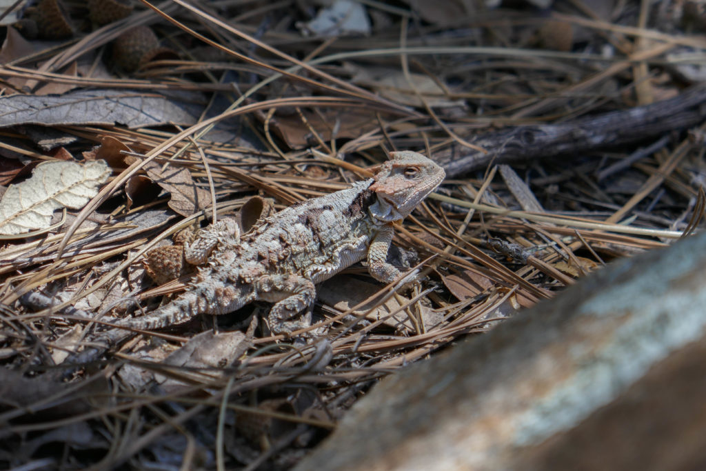 Saguaro: Greater Short-Horned Lizard on Manning Camp Trail
