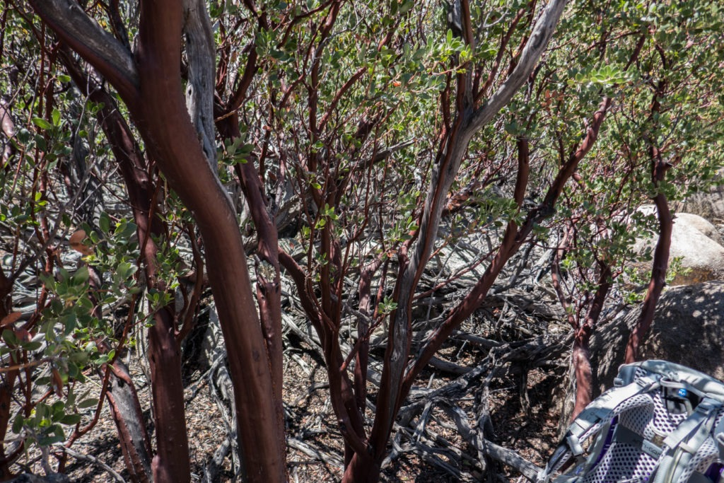 Saguaro: Manzanita Bark