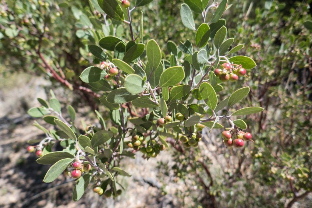 Saguaro: Manzanita Tree on Miller Creek Trail