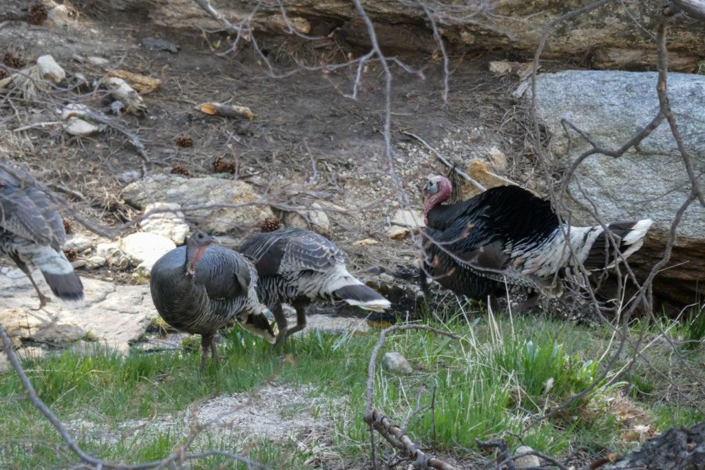 Saguaro: Manning Camp Turkeys