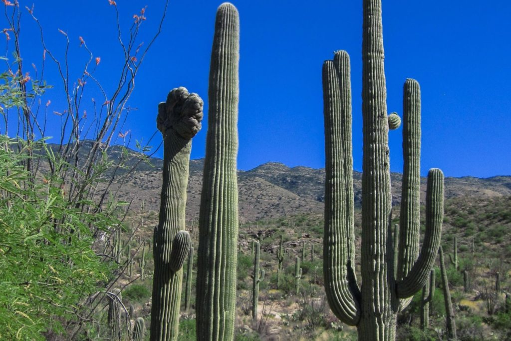 Saguaro: First Glimpse of Cristate Saguaro