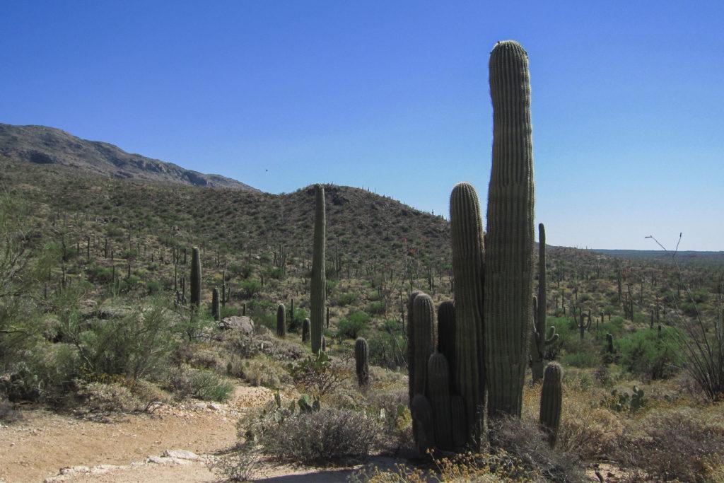 Saguaro: Cluster of 11 Saguaro on Garwood Trail