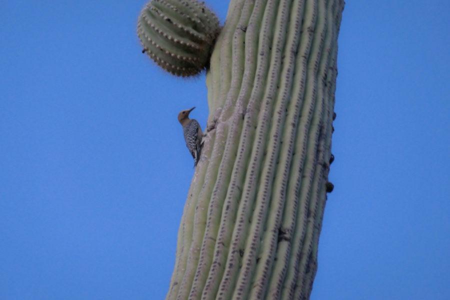 Saguaro: Gila Woodpecker on Desert Discovery Trail