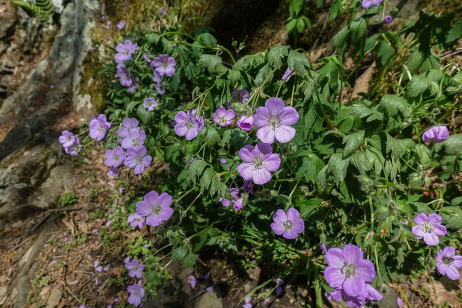 Shenandoah: Wild Geraniums Near Tuscarora-Overall Run Trail