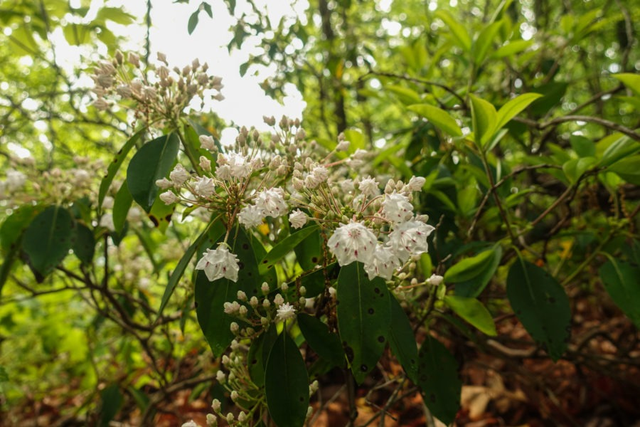 Shenandoah: Mountain Laurel on Beecher Ridge Trail