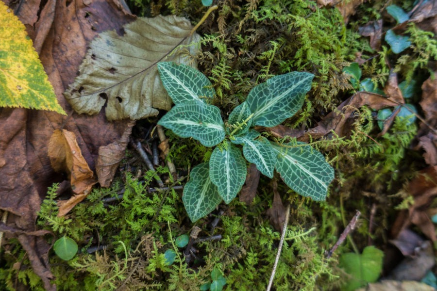 Shenandoah: Rattlesnake Plantain on Rose River Loop Trail