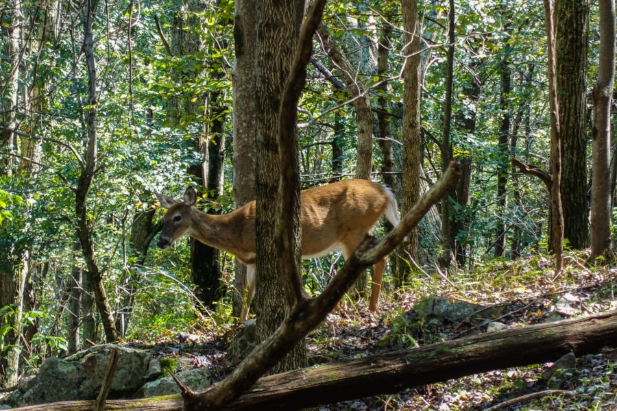 Shenandoah: Closeup of White Tailed Deer on Skyland-Big Meadows Trail