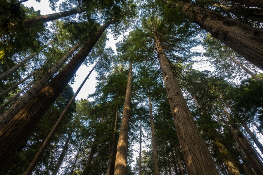 Redwood: Looking up on Miner's Ridge Trail
