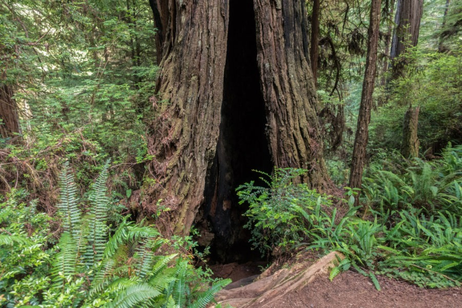 Redwood: Burned Redwood Tree