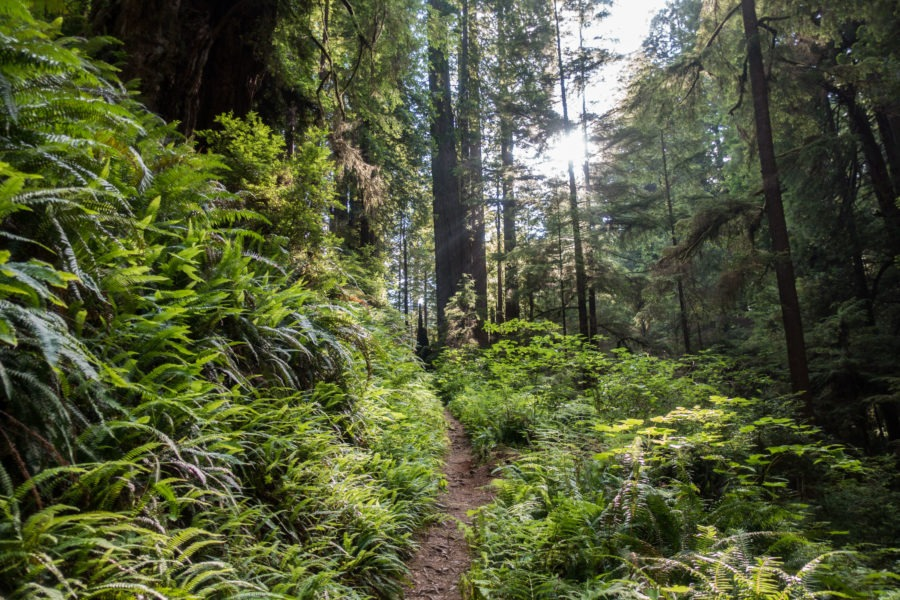 Redwood: Sun Shining on Miner's Ridge Trail