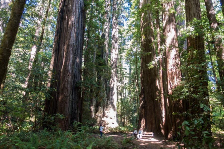 Redwood: Redwood Trees near Tall Trees Grove