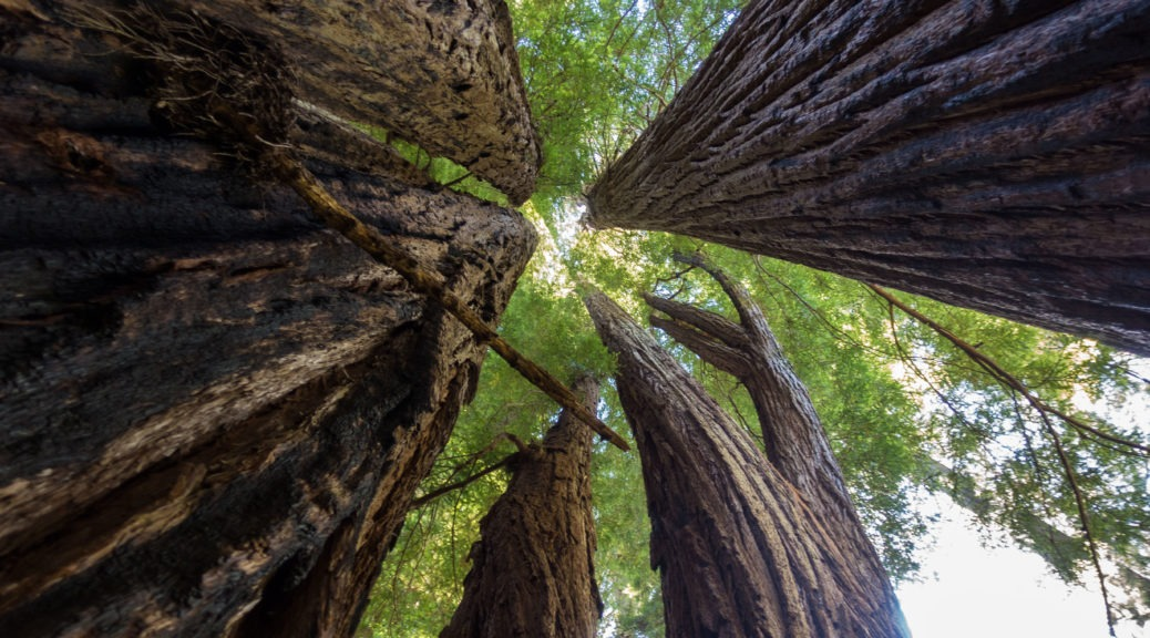 Redwood: Looking up at Redwoods