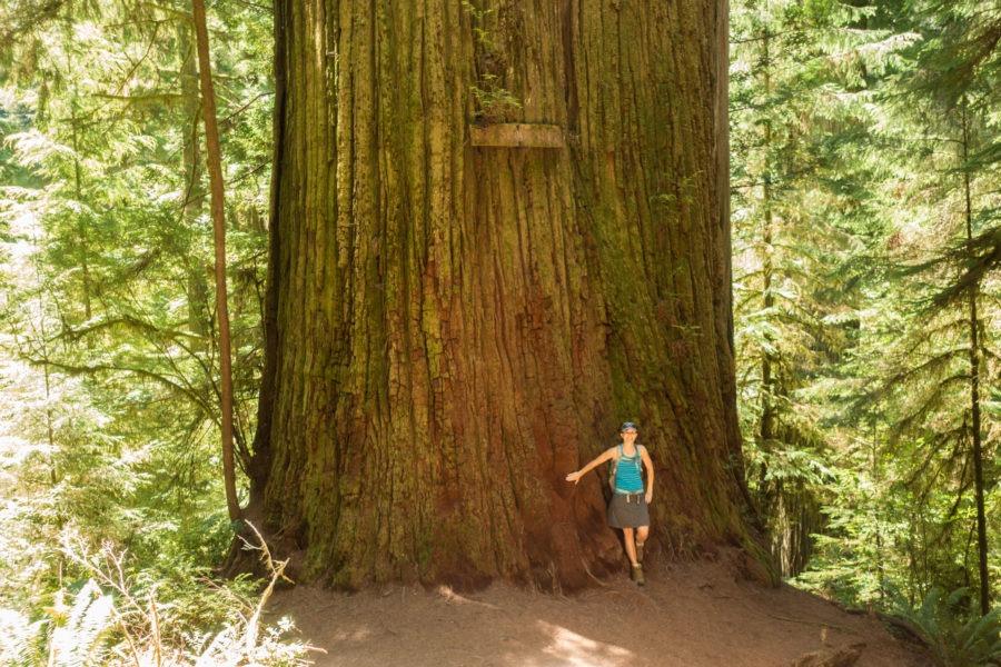 Redwood: Boy Scout Tree