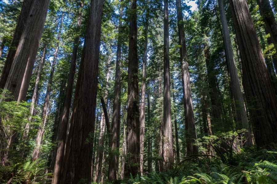 Redwood: Redwood Forest on Boy Scout Tree Trail