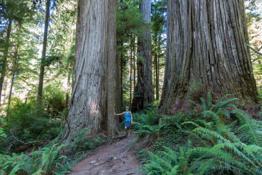 Redwood: Large Trees on Boy Scout Tree Trail