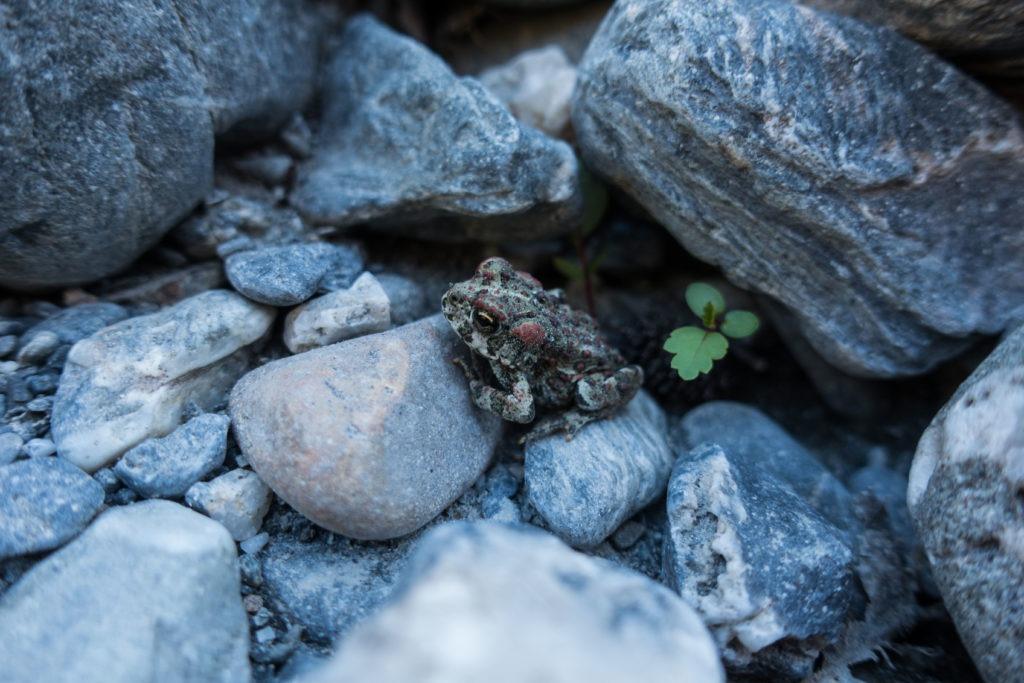 Redwood: Juvenile California Toad near Redwood Creek