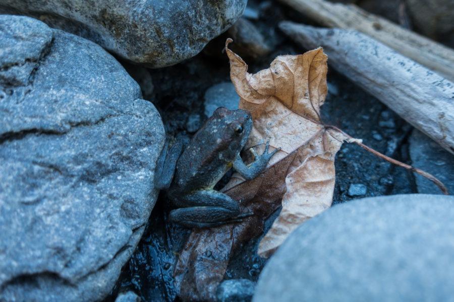 Redwood: Juvenile Foothill Yellow-legged Frog near Redwood Creek