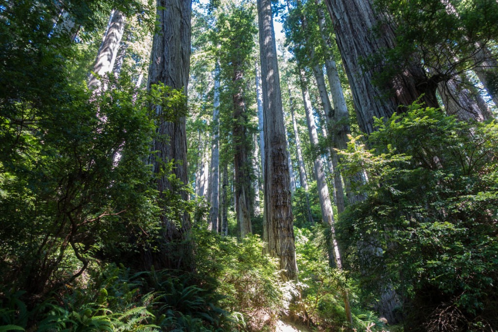 Redwood: Re-entering Redwood Forest on Damnation Creek Trail