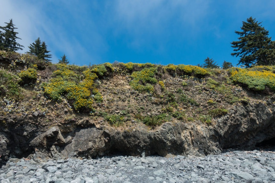 Redwood: Flowers Growing on Cliff at Damnation Creek Coast