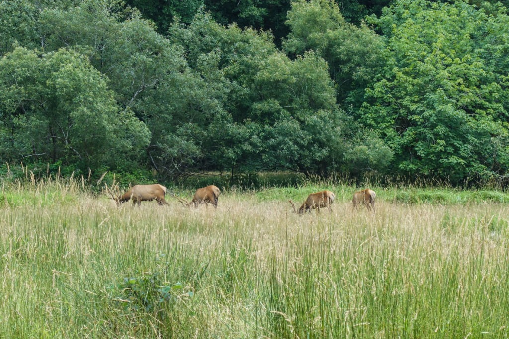 Redwood: Elk in Elk Meadow