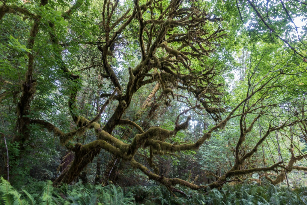 Redwood: Moss Covered Maple Tree