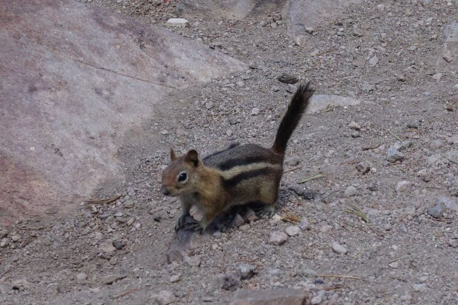 Crater Lake: Golden Mantled Ground Squirrel on Mount Scott Trail