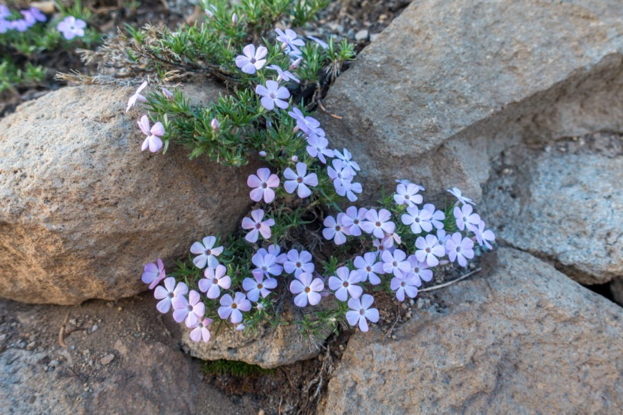 Crater Lake: Spreading Phlox on Watchman Peak Trail