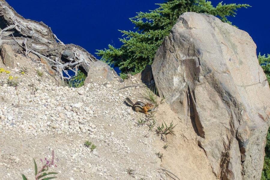 Crater Lake: Ground Squirrel on Garfield Peak Trail