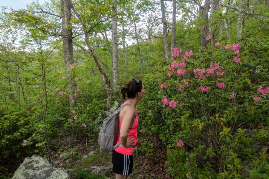 Shenandoah: Wild Azalea Along Laurel Prong Trail