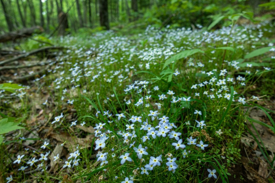 Shenandoah: Bluets Along Laurel Prong Trail